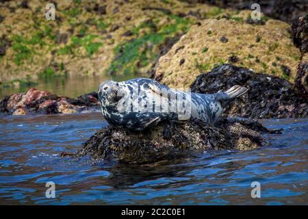 Grey Seal (Halichoerus grypus) a large wild sea life animal mammal resting on a rock in Tenby Wales UK and known as Atlantic seal or horsehead seal - Stock Photo