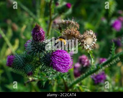 Little bumblebee collecting pollen on a purple flower of a thistle - Stock Photo
