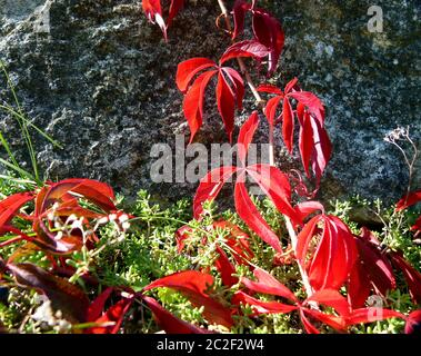 Deep red leaves of wild wine in stone garden