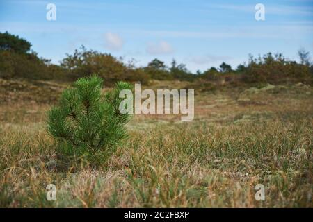 A baby pine tree growing in an empty field in the dunes in Bergen Noord-Holland - Stock Photo