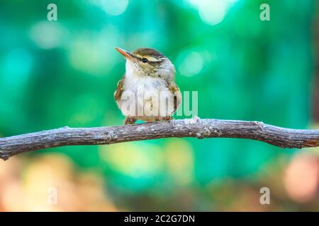 Yellow-browed Warbler (Phylloscopus inornatus) on the branch in nature - Stock Photo