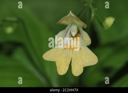 Small balsam, small-flowered touch-me-not, Impatiens parviflora, blossom