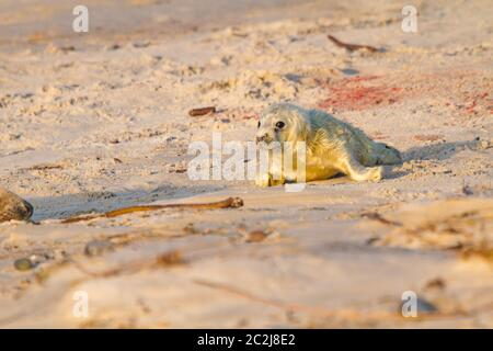 Young grey seal (Halichoerus grypus) - Stock Photo
