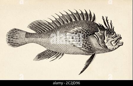 Red scorpionfish. Scorpaena scrofa, venomous marine species of fish in the family Scorpaenidae. Old 19th century engraved illustration, El Mundo Ilustrado 1880 - Stock Photo