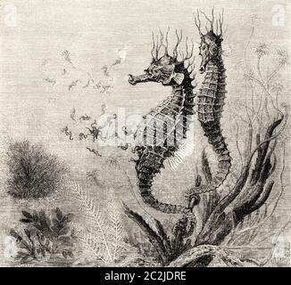 The common Short-snouted seahorse (Hippocampus hippocampus) is a species of fish in the Syngnathidae family. Old 19th century engraved illustration, El Mundo Ilustrado 1880