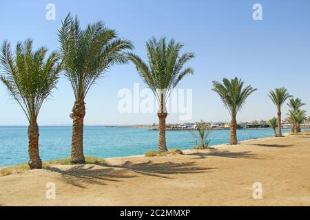 Date palms on beach. Row of date palms grow on sea shore. Tropical resort in Egypt. Coast of Red Sea