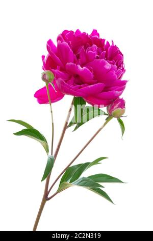 Single red Peony flower isolated on white background
