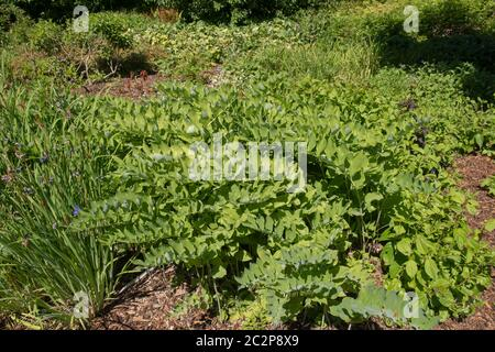 Summer Green Leaves of the Herbaceous Perennial Garden Solomon's Seal Plant (Polygonatum x hybridum) Growing in a Woodland Garden in Rural Devon, Engl - Stock Photo