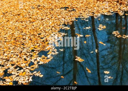Dried autumnal fallen oak leaves floating on surface of water pond or lake at scenic park or forest on bright sunny day. Fall golden foliage with - Stock Photo