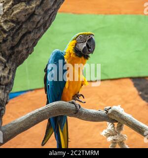 The blue-and-yellow macaw (Ara ararauna), also known as the blue-and-gold macaw, portrait - Stock Photo