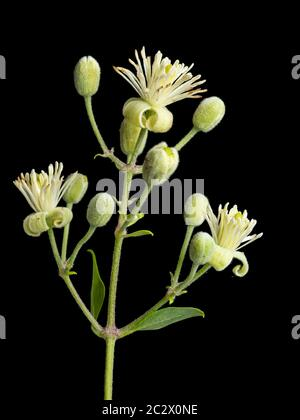 Early summer flowers of the UK climbing wildflower, Clematis vitalba, traveller's joy, on a black background - Stock Photo