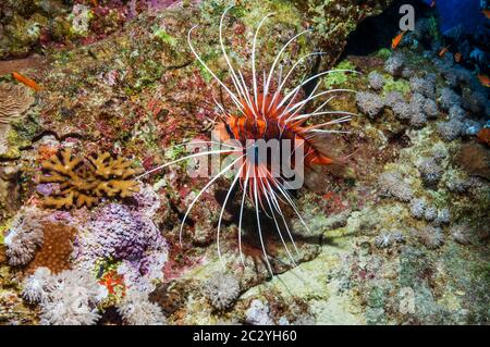 Clearfin or Radial lionfish (Pterois radiata).  Egypt, Red Sea. - Stock Photo
