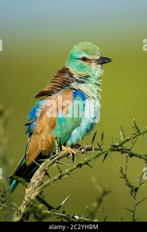 European roller (Coracias garrulus) perching on branch, Ngorongoro Conservation Area, Tanzania, Africa - Stock Photo