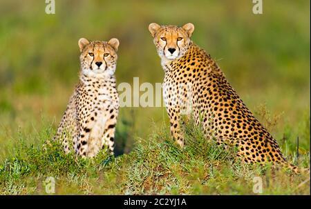 Portrait of two cheetahs (Acinonyx jubatus) sitting on grass, Ngorongoro Conservation Area, Tanzania, Africa - Stock Photo