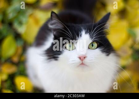 Black and white kitty in nature against a background of yellow apricot leaves on the ground - autumn outdoors