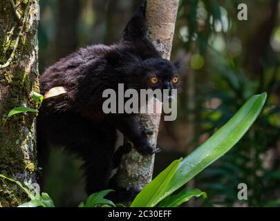 Black lemur (Eulemur macaco) male, Lokobe National Park, Nosy Be, Madagascar - Stock Photo
