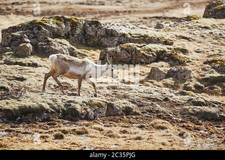 Reindeer in Eastern Iceland, walking the rocky landscape - Stock Photo