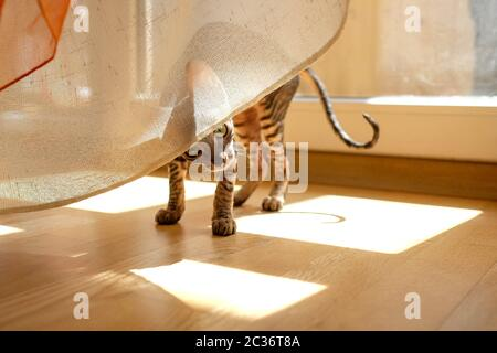 A kitten peeks out from under the curtains. Playful cat plays in the sun. Cornish Rex, Tabby. - Stock Photo