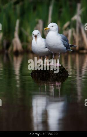 Pair of Herring Gull on a water. Her Latin name are Larus argentatus. - Stock Photo