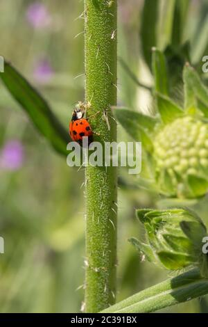 Red seven spotted ladybird feeding on aphids. White spot each side behind head and three black spots each side with one split spot in front centre - Stock Photo