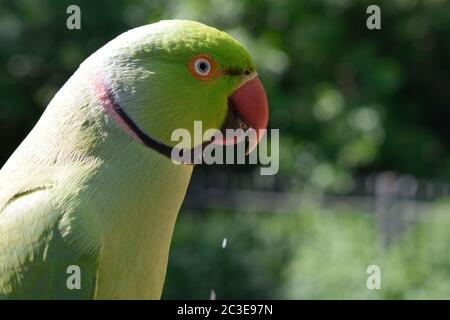 Male Rose-Ringed Parakeet Eating a Peanut - Stock Photo