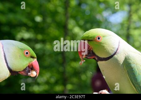 Two Male Rose-Ringed Parakeets Eating Peanuts - Stock Photo