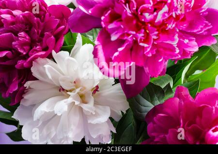 bouquet of pink and white peonies close-up - Stock Photo