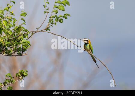 bird White-throated Bee-eater Ethiopia wildlife - Stock Photo