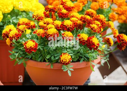 Tagetes patula french marigold in bloom, orange yellow flowers, green leaves - Stock Photo