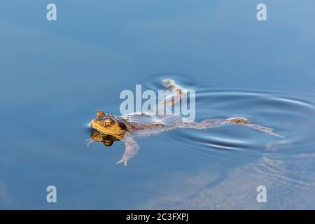 Common toad, Bufo bufo, Czech republic, Europe wildlife - Stock Photo
