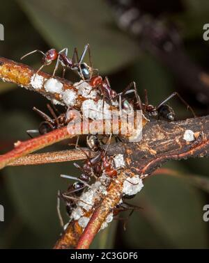 Large red and black ants feeding on scale insects on branch of shrub against dark green background - Stock Photo