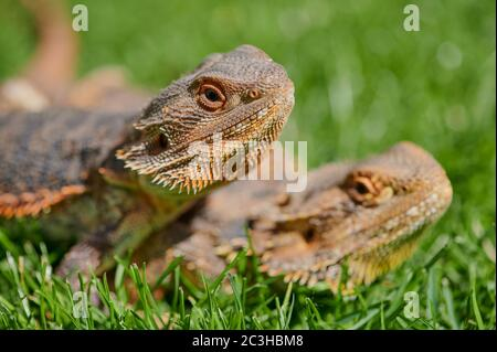 pair of bearded dragons sitting in the sun in the green grass - Stock Photo