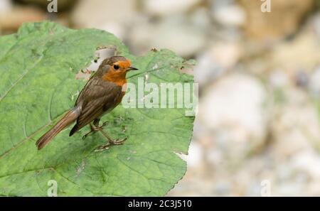 Rotkelchen sitzt auf einem Blatt und Hält nach beute ausschau - Stock Photo