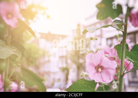 Pink hollyhock flowers in the sunlight, with the buildings of old Amsterdam in the background. Vintage film style processing - Stock Photo