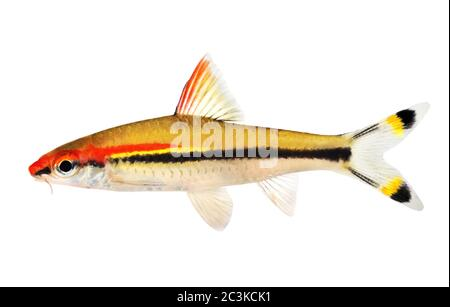 Aquarium fish Denison's barb Roseline Shark Sahyadria denisonii - Stock Photo