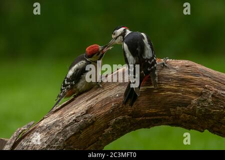 Woodpecker great spotted  (Dendrocopos major), male feeding juvenile, Dumfries, SW Scotland - Stock Photo