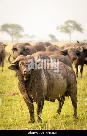 The big male african buffalo or Cape buffalo (Syncerus caffer) with his herd, Murchison Falls National Park, Uganda.