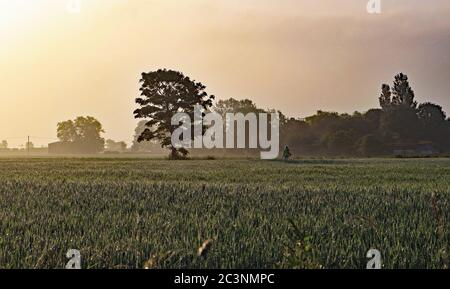 Early morning walker on Martin Mere. A lone dog walker crosses a field of wheat not long after dawn on a hazy sunny morning near Burscough. - Stock Photo