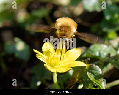 Common bee fly (Bombylius major) inserting its long proboscis into a Lesser Celandine flower (Ficaria verna) while hovering to feed on nectar, Wiltshi
