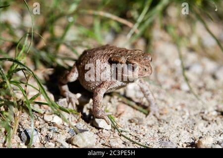 Young common toad (Bufo bufo), about 3 cm long; Denmark - Stock Photo