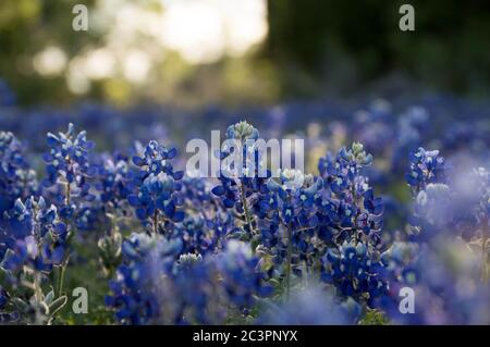 Bluebonnet field in the texas hill country