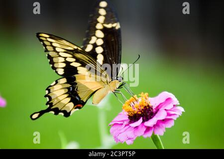 Giant swallowtail butterfly (papilio cresphontes) on a pink zinnia