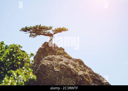 Lonely Pine that grows on top of a mountain against the sky. Landscape. - Stock Photo