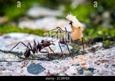 Macro photography of leaf cutter ant carrying a load
