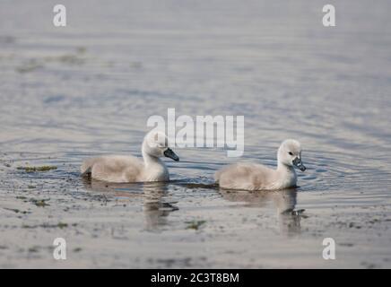Mute Swans, Cygnus olor,  Two cygnets swimming.  Hampshire, UK. - Stock Photo
