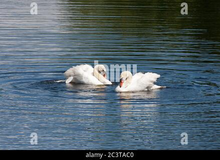 Mute Swans, Cygnus olor, two adult males displaying aggression.  Pembrokeshire, Wales, UK. Stock Photo