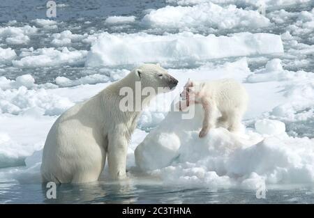 polar bear (Ursus maritimus), polar bearess with one after feeding blood-smeared bear cub , Norway, Svalbard