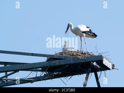 white stork (Ciconia ciconia), pair in a stork nest on an electricity pylon, Netherlands, Lelystad - Stock Photo