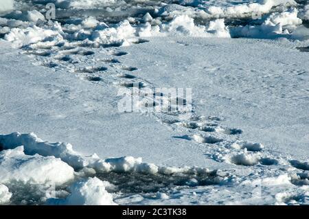 polar bear (Ursus maritimus), tracks in the snow, Norway, Svalbard - Stock Photo