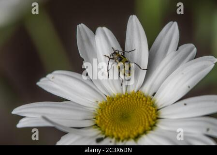 A spotted cucumber beetle (diabrotica undecimpunctata) sitting on a wild flower, a species of daisy, in California. - Stock Photo